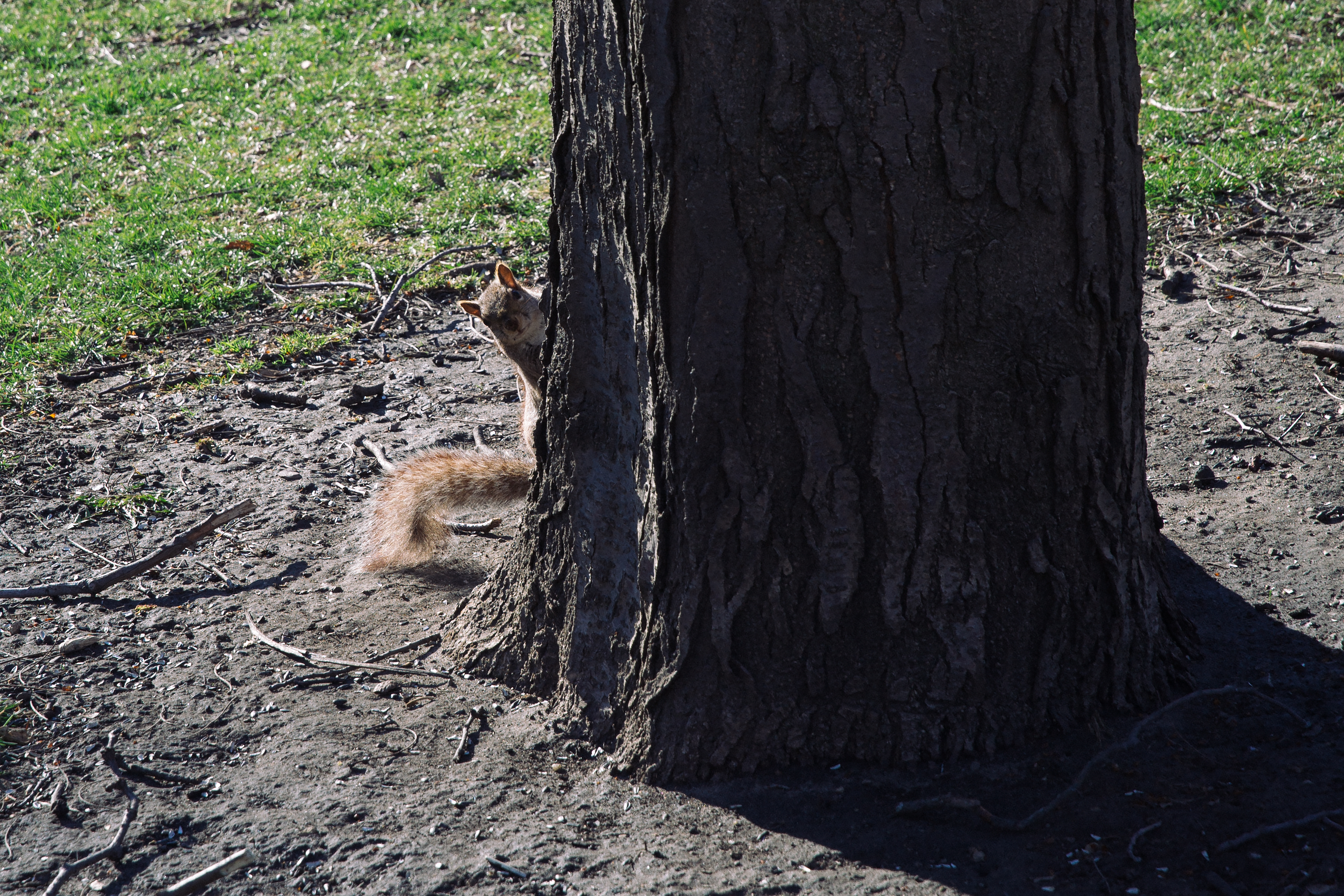 The Chicago-squirrel